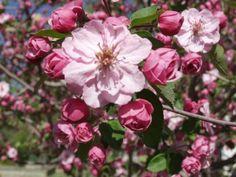 BRANDYWINE PINK FLOWERING CRABAPPLE ©photo ArborTanics Inc.
