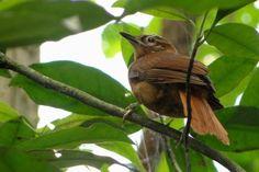 """O desmatamento e a alteração do habitat são as ameaças mais sérias para a conservação do limpa-folha-do-nordeste (""""Philydor novaesi""""). A espécie vive em bando nas copas das árvores e se alimenta de artrópodes capturados em troncos e folhas secas"""