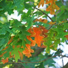 White Oak Tree on the Tree Guide at . Tree Leaves, Plant Leaves, Tree Tree, Big Tree, Tree Bark, Trees And Shrubs, Trees To Plant, Olive Tree Bonsai, Oak Lumber