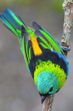 Green-headed tanager ... found in the Atlantic forest in south-eastern Brazil, far eastern Paraguay, and far north-eastern Argentina.
