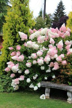 Vanilla Strawberry Hydrangea, perfect fit for a cottage garden Cottage Garden. Me FASCINAAA Pruning Hydrangeas, Hydrangea Landscaping, Hydrangea Garden, Garden Shrubs, Front Yard Landscaping, Shade Garden, Planting Flowers, Landscaping Ideas, Flowers Garden