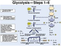 Cellular Respiration Urea Cycle, Learn Biology, Cell Respiration, School Admissions, Molecular Biology, Biochemistry, Medical School, Physiology, Genetics