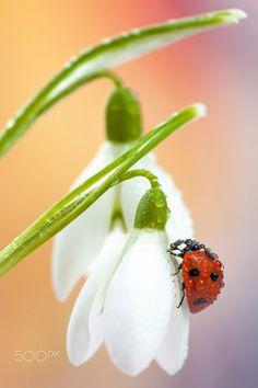 Ladybird on snowdrops by Tomasz Skoczen