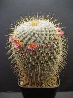Cactus and Succulents 9 Succulents In Containers, Cacti And Succulents, Planting Succulents, Planting Flowers, Agaves, Cactus E Suculentas, Cactus Planta, Garden Cactus, Cactus Flower