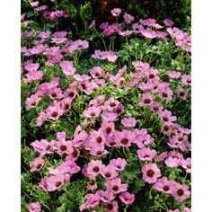 Our selections of hardy geranium plants present a beautiful, classic look to your garden without the fuss or added expense of replanting. Geranium Plant, Hardy Geranium, Shade Garden, Garden Plants, Summer Flowers, Pink Flowers, Sun Perennials, Planting Seeds, Geraniums