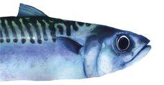Image result for mackerel art