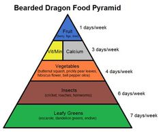 learn about bearded dragon nutrition with the bearded dragon food pyramid!