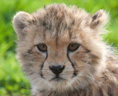 whipsnade zoo.  Cheetah cub