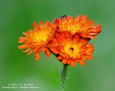 Prairie Wildflowers: Orange Hawkweed: Popsicle coloured flower