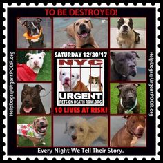 TO BE DESTROYED 12/30/17 - - Info    https://newhope.shelterbuddy.com/Animal/List  To rescue a Death Row Dog, Please read this:http://information.urgentpodr.org/adoption-info-and-list-of-rescues/ List of NH Rescues:http://www.nycacc.org/get-involved/new-hope/nhpartners To view the full album, please click ...-  Click for info & Current Status: http://nycdogs.urgentpodr.org/to-be-destroyed-4915/