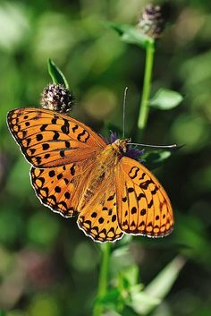 Pacific Fritillary Butterfly (Boloria epithore)