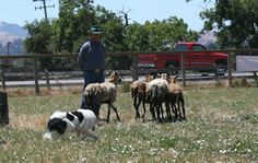 Got a herding dog who is itching to herd something? My Border Collie here, Zoe, loves herding the sheep at Dairydell Canine. I bet yours would too! Herding Dogs, The Ranch, Border Collie, Dog Training, Sheep, Dog Lovers, Animals, Animales, Animaux