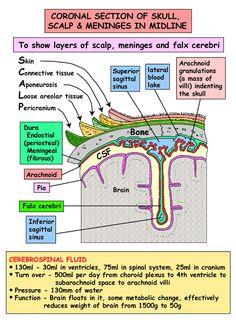 Head and Neck - Areas/Organs - Meninges - Superior sagittal sinus Arteries Anatomy, Brain Anatomy, Medical Anatomy, Human Anatomy And Physiology, Anatomy Study, Medical Coding, Medical Science, Neck Muscle Anatomy, Medicine Student