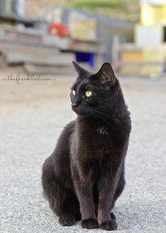 Beautiful Black Cats #cats