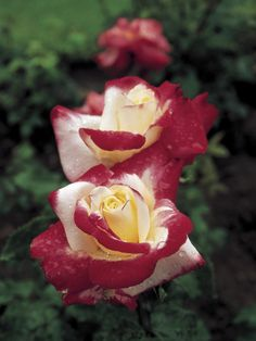 Love roses and working in my rose garden! Rose Double Delight - An AARS-winning hybrid tea rose with a spicy scent and bicolor blooms of red and white. Beautiful Roses, White Flowers, Red Roses, Beautiful Flowers, Elegant Flowers, Cut Flowers, Fragrant Roses, Shrub Roses, Floribunda Roses