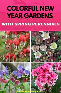 Spring perennial plants are ideal for growing withfavorite spring bulbsas they both herald a new beginning in the garden. For added effect the colorful flowers of these early perennials often benefit by being planted amongst somelush evergreen hosta leaves. #perennials #flowergarden #springgarden #farmfoodfamily #gardeningtips