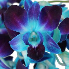 Get wholesale Tie Dye Orchids from FiftyFlowers. This fresh cut flower has many beautiful blooms per stem perfect for all of your floral arranging needs. All Flowers, Exotic Flowers, Beautiful Flowers, Fifty Flowers, Dark Blue Flowers, Blue Dendrobium Orchids, Purple Orchids, Orchid Lei, Orchid Flowers