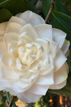 Buy Sea Foam Camellia Plant - FREE SHIPPING - 1 Gallon Size Pot For Sale Online From Wilson Bros Gardens Camellia Plant, Large Plants, Early Spring, Sea Foam, Planting Flowers, Pure Products, Gardens, Rose, Floral