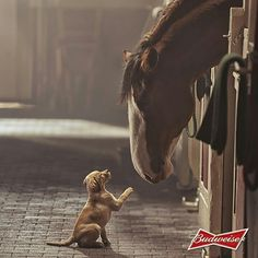Dog looks like he is telling the clydesdale horse a story. (: