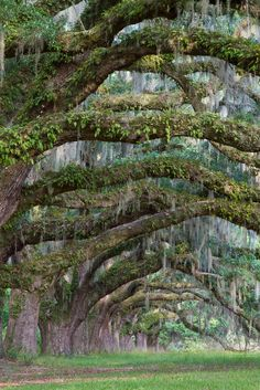 Live Oak trees draped in Spanish moss, Charleston, SC