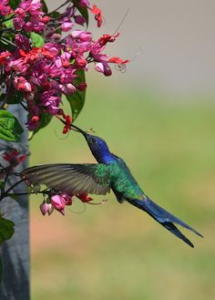Colorful Birds -Hummingbird - They're so little but so full of energy. Pretty Birds, Beautiful Birds, Animals Beautiful, Cute Animals, All Birds, Little Birds, Love Birds, Exotic Birds, Colorful Birds