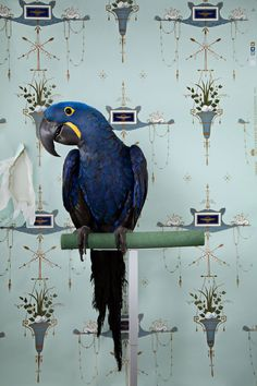 a portrait series of live birds ranging from the common Parakeet to the exotic Hyacinth Macaw. The birds are staged against complementary vintage wallpaper to create optical illusion and visual blending. The birds mirror the careful, self-conscious poses of the human realm in a comical and unexpected way. Posed, the birds begin to anthropomorphize as we attribute human emotion and intent to their expression. Photo by Claire Rosen www.clairerosenphoto.com