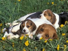 Beagle mom and her two pups (awwwwww!)