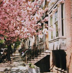 Cherry Blossoms in front of a brownstone. love.
