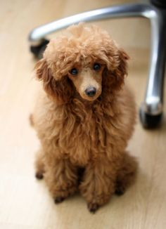 little cute Poodle, This poodle is just too cute to be real!