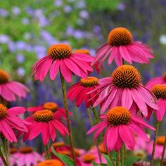 Echinacea purpurea Pow Wow Wild Berry Photo Courtesy of Walters Gardens Inc. Echinacea purpurea Pow Wow Wild Berry Photo Courtesy of Walters Gardens Inc.