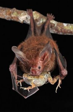 The Fringe Lipped Bat Trachops Cirrhosus Also Known As Frog