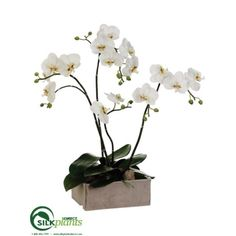 Phalaenopsis Orchid Plant - White Green - Pack of 1