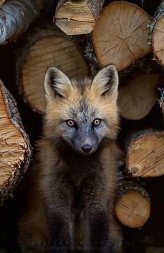 "beautiful-wildlife: ""Cross Fox by © bkcrossman "" - Liski - Animals Wild Nature Animals, Animals And Pets, Baby Animals, Funny Animals, Cute Animals, Beautiful Creatures, Animals Beautiful, Beautiful Beautiful, Cute Fox"