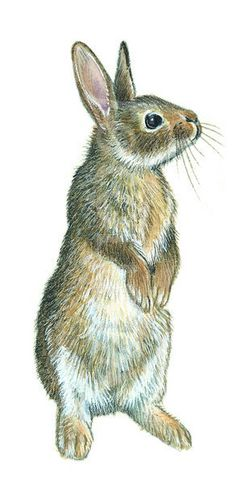 Illustration of a rabbit, fairly simple lines
