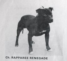 Born in 1964 by Ch Game Flash x Walstaf Tigre Tigrato. He won 4 CCs. Staffordshire Bull Terrier, American Staffordshire, Bull Terriers, Pitbull Terrier, Dog Games, American Pit, Family Dogs, Pit Bulls, Animals And Pets
