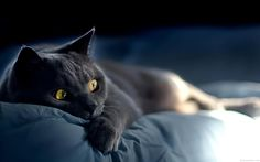 HD wallpaper: Russian Blue Cat Laying Down on Bed, bombay cat, sleepy, adorable Cute Cats And Kittens, I Love Cats, Cool Cats, Russian Cat, Russian Blue, Beautiful Cats, Animals Beautiful, Cute Animals, Cat Wallpaper