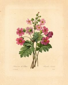 Primula vulgaris (primrose)