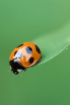 another... Clemson lady bug
