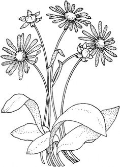 Free Daisy Clip Art | Daisy Asteraceae coloring page | Super Coloring