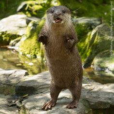 This otter is giving a speech