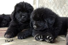 Adorable little fluff ball Newfie pups