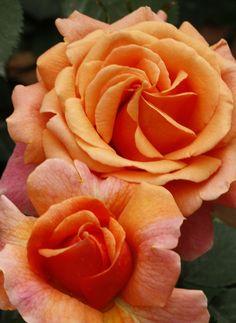 Bright orange roses