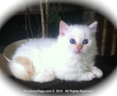 Ragdoll cat breeders on long island