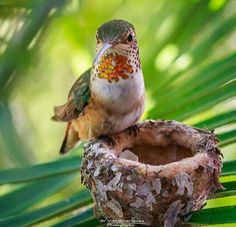Female Anna's Hummingbird standing at the to guard her newly hatched chicks. By Val Rodriguez.