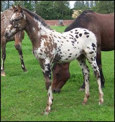Knabstrupper Foal by Xhogun Middelsom with interesting facial markings that are common in the Knabstrupper breed.