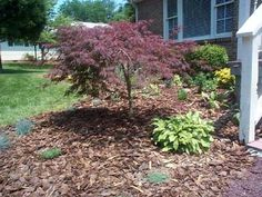japanese maple planting ideas - Google Search