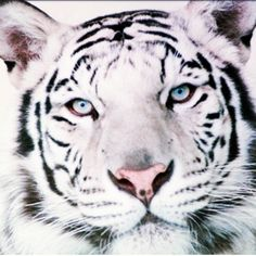 White tigers have true beauty