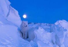 A beautiful Artic Wolf!!