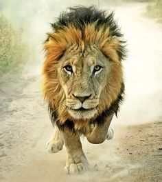 """A lion which is strongest among beasts, and turneth not away for any;""– Proverbs 30:30 KJV ...http://www.youtube.com/watch?v=TeZuGJnXZvI"