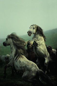 biscodeja-vu:  David Allan Harvey. Wild Horses, Galicia Spain, 1977.